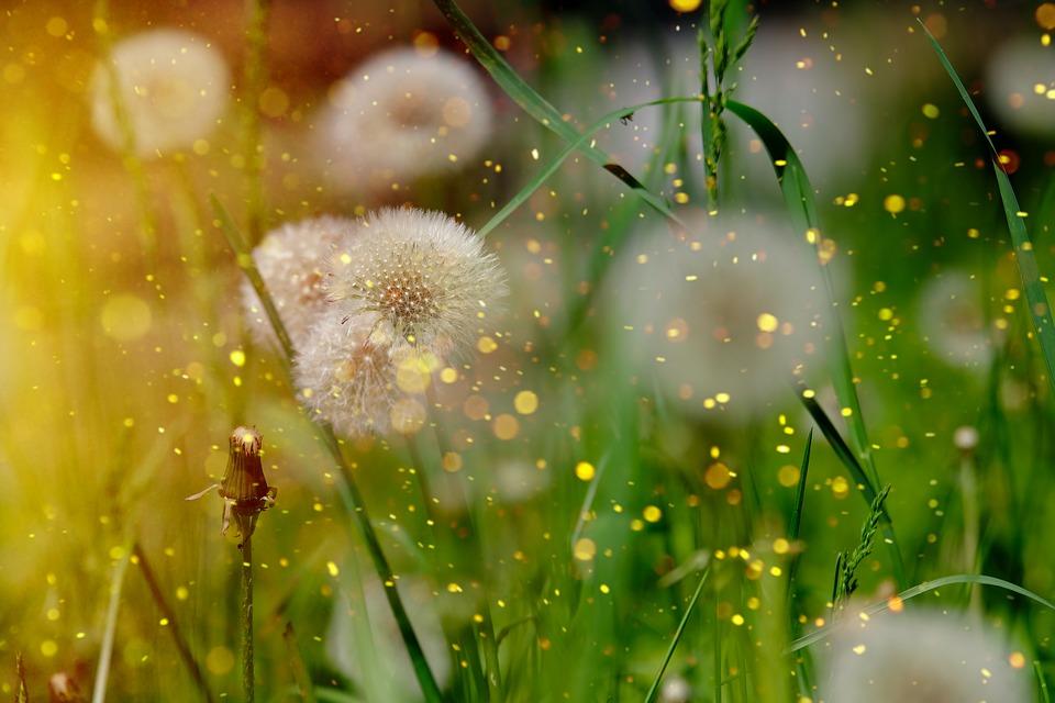 dandelion weed spores