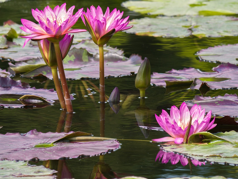 garden pond with lilies in bloom