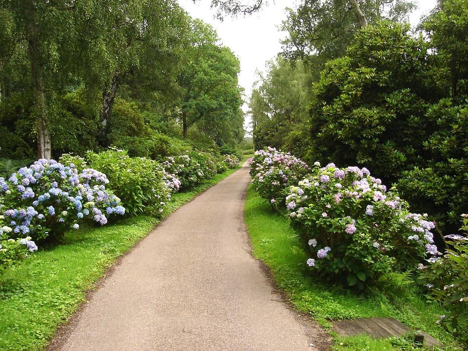 Hydrangea as a perennial border along a walkway