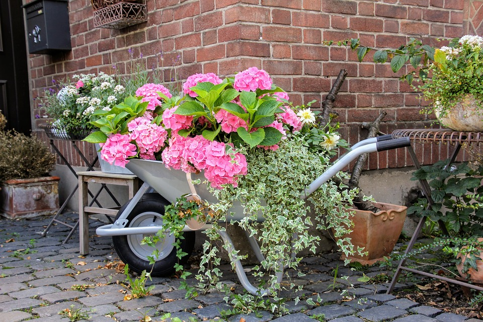 Hydrangea plants in wheelbarrow