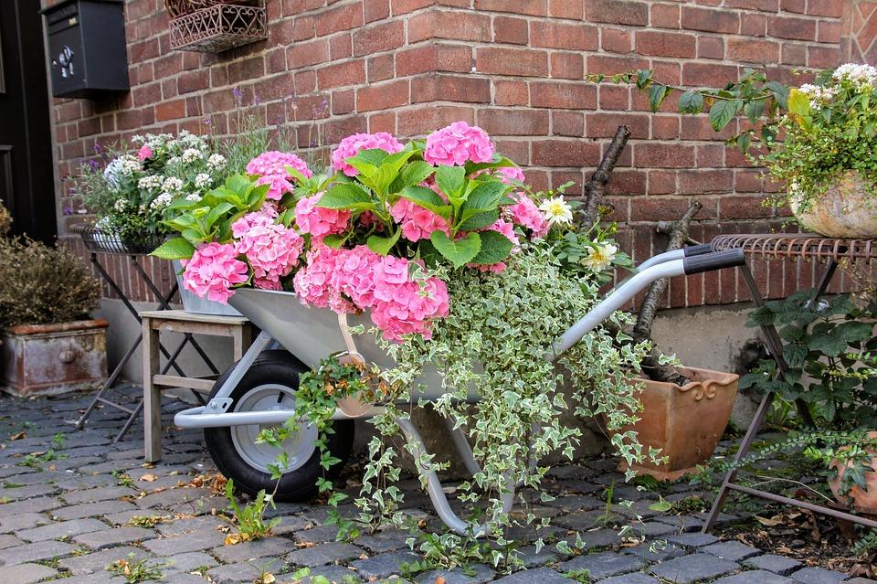 Hydrangea plants in wheelbarrow