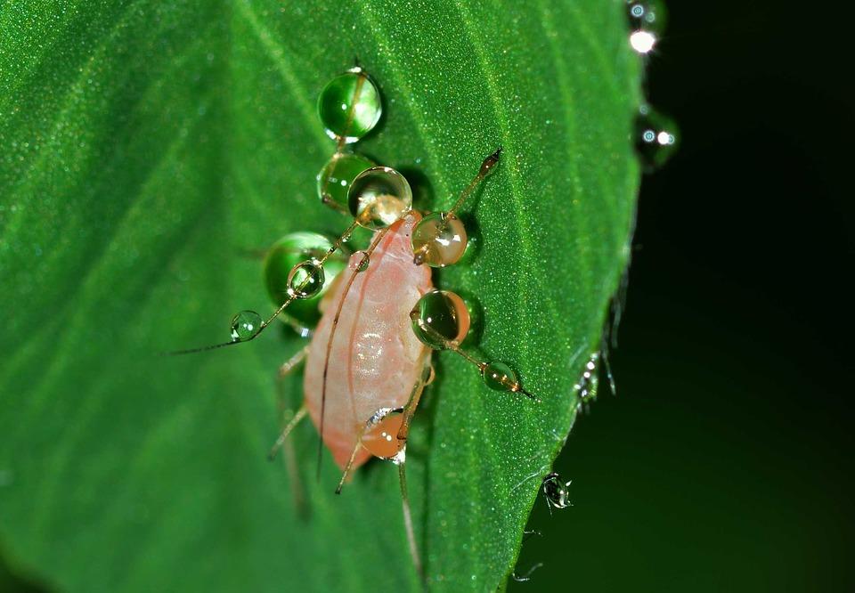 aphid on leaf