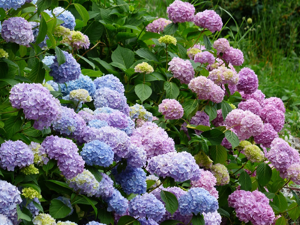 various colours of hydrangea bushes