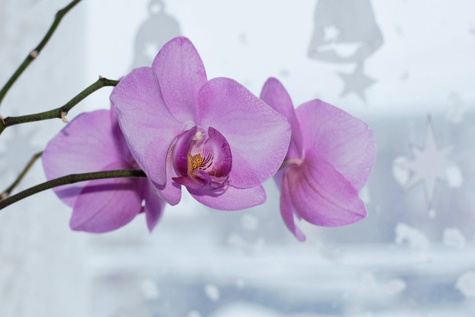 orchid in window