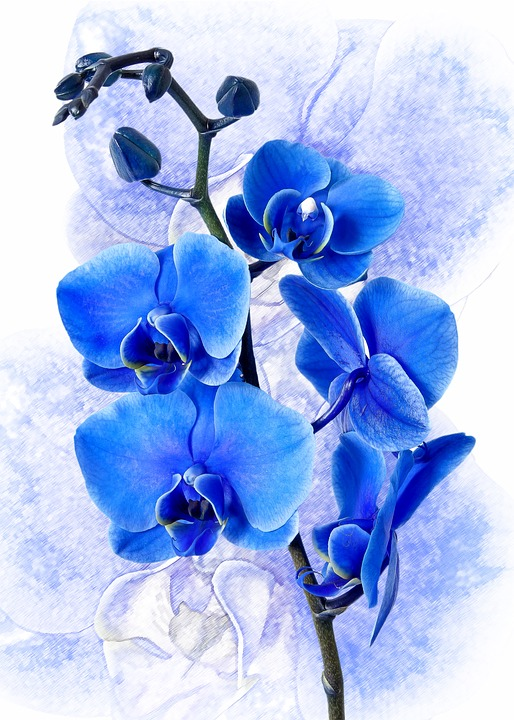phalaenopsis-blue-orchid